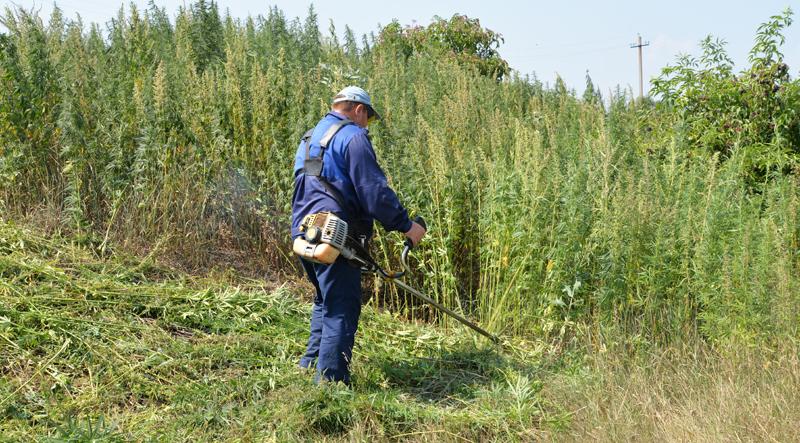 Житель Ставрополья вырастил в Астраханской области плантацию конопли