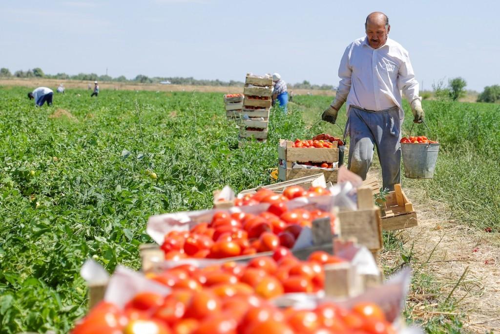 Астраханская область стала лидером по выращиванию томатов