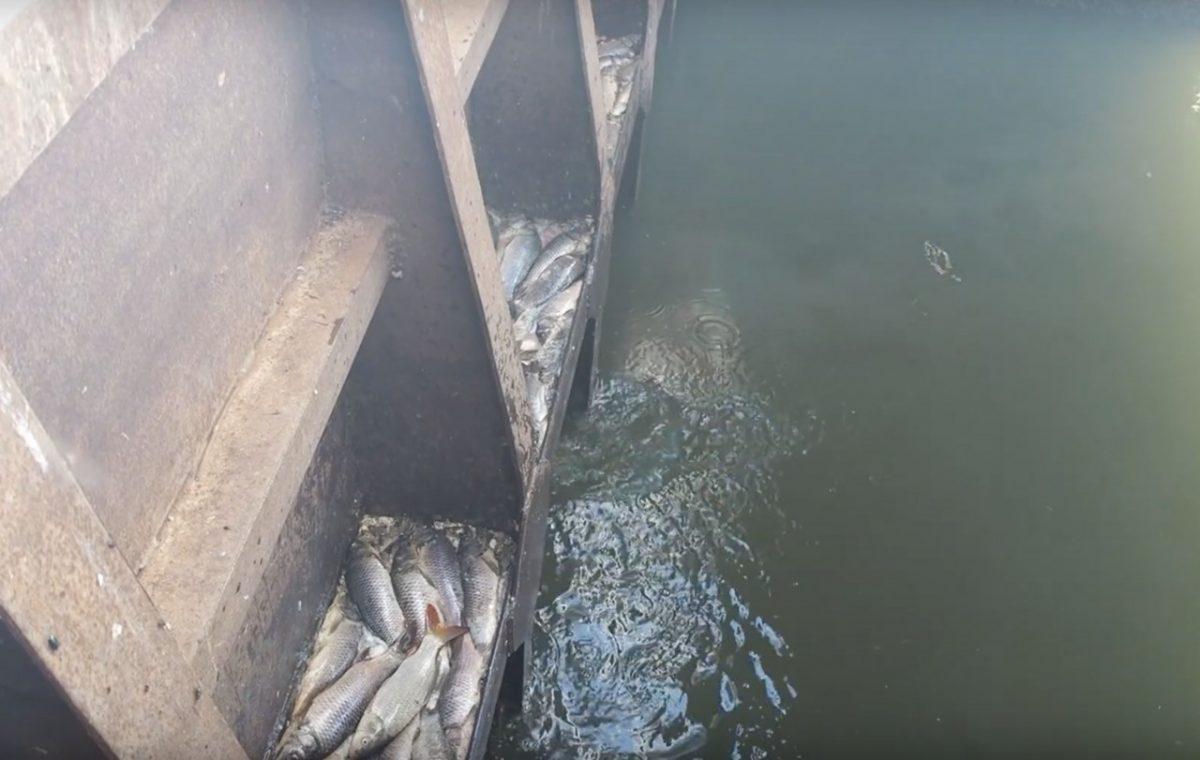 Блогеры обнаружили «кладбище» рыбы из-за перекрытой дамбы