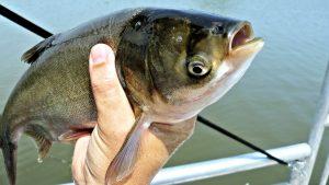 Астраханский производитель охлажденной рыбы попался на антибиотиках