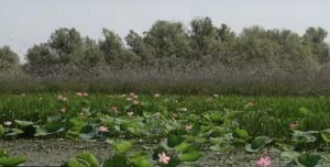 Саранча объела тростник в Астраханском биосферном заповеднике