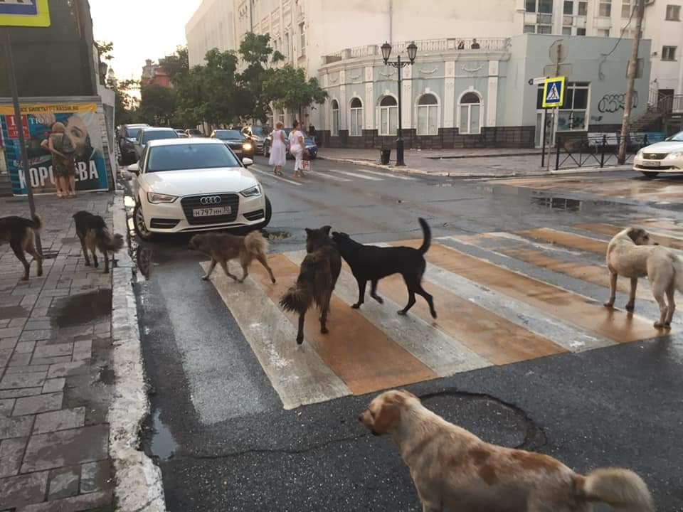 По улицам Астрахани бегают 10 тысяч бродячих собак