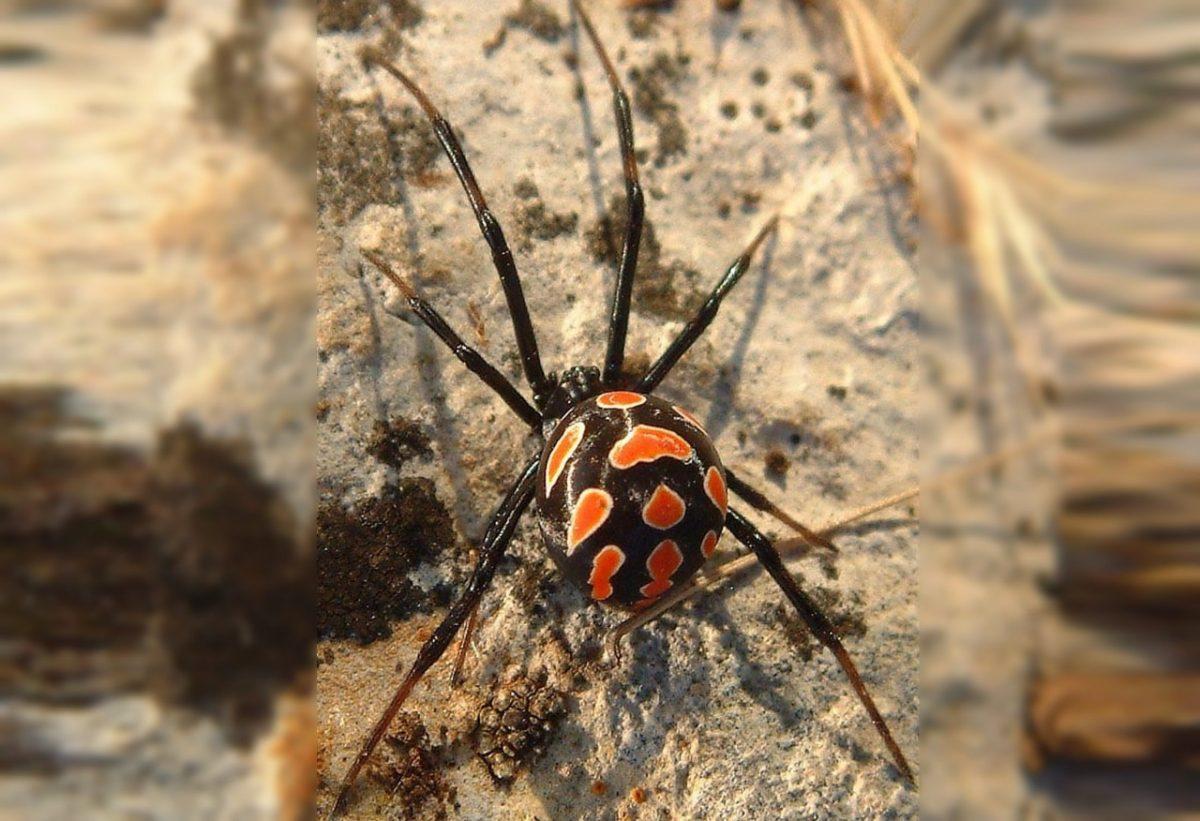 Ядовитые пауки каракурты нападают на астраханцев