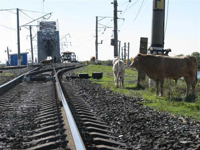Нарушение правил выпаса домашнего скота стало причиной более чем 80 случаев экстренного торможения поездов в Астраханской области