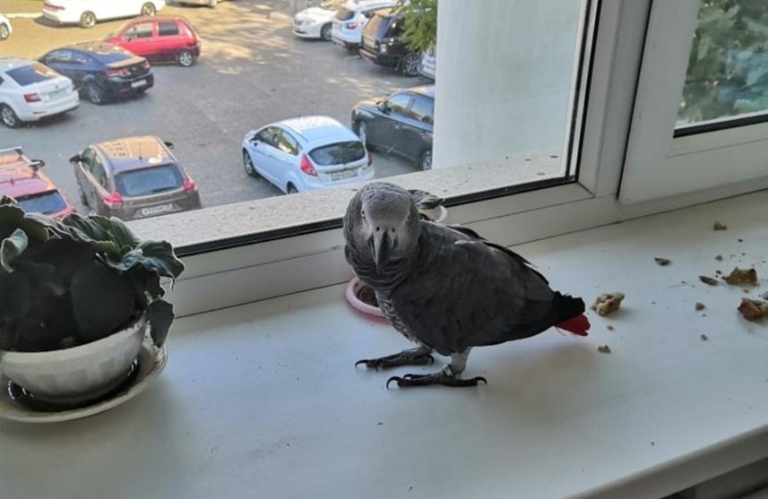 Редкий астраханский попугай улетел от хозяйки к голубям