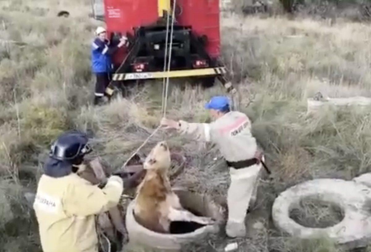 Газовики вытащили теленка из колодца в Аксарайске. Видео