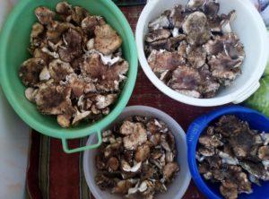 Астраханцы собирают грибы ведрами. Фото