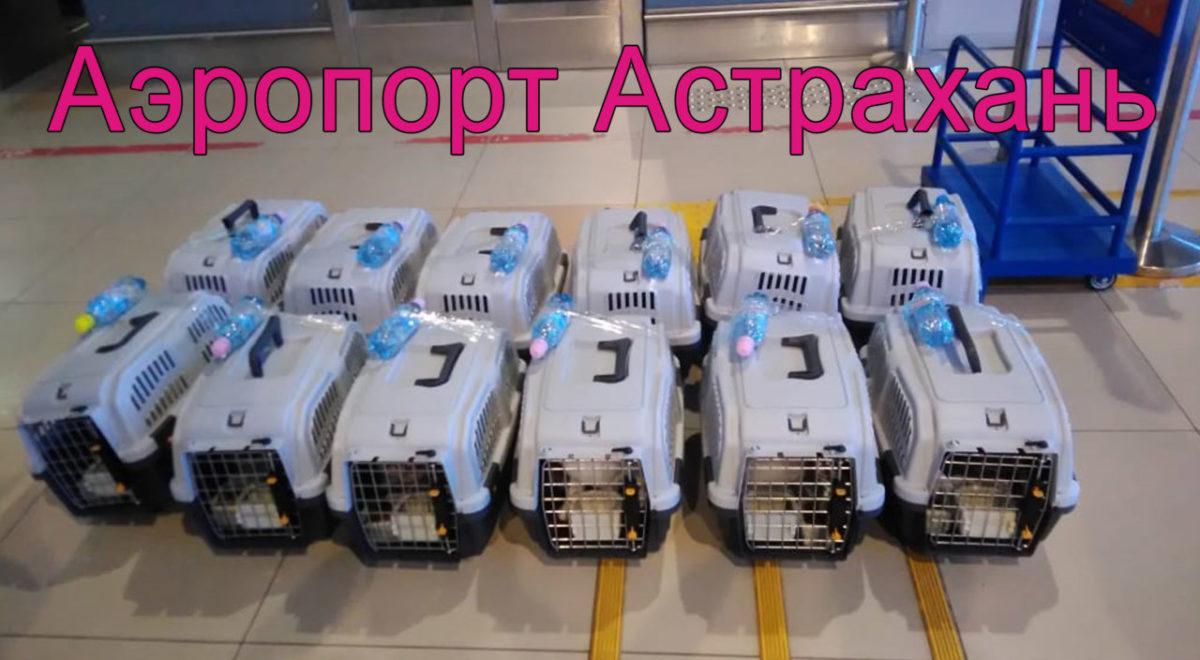 Астраханка отправила на одном авиарейсе 12 кошек