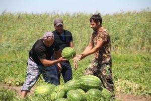 Астраханская область добилась значительных успехов в производстве бахчевых