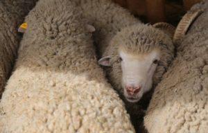 Астраханские фермеры активно взялись за осеменение овец и коз