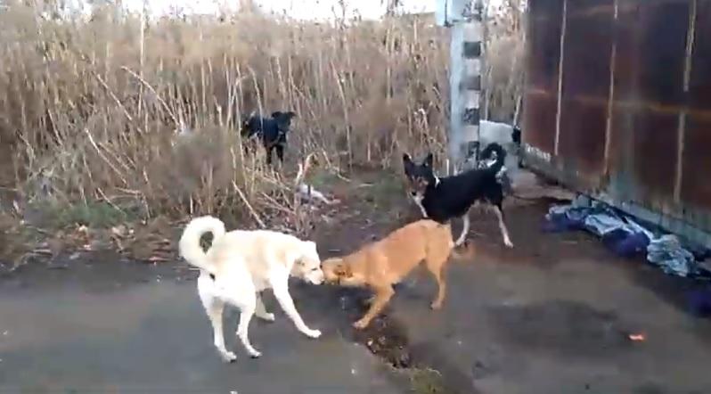 Астраханский депутат снял стаю озверевших собак на рынке