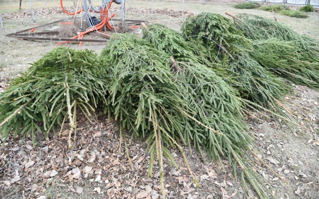 Живую елку в Астрахани можно будет купить уже через пять дней