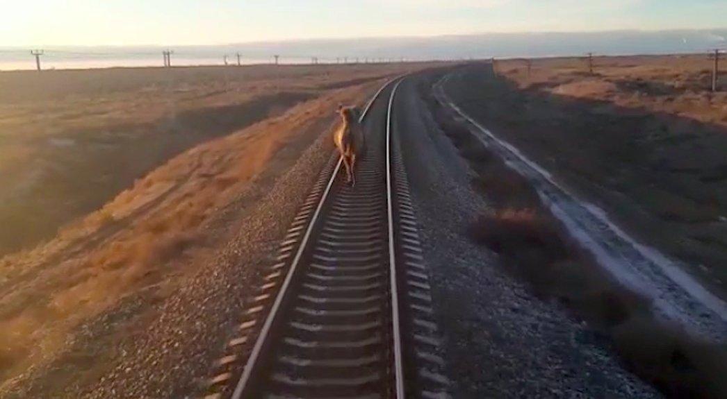 В Астраханской области засняли бегущего перед поездом верблюда
