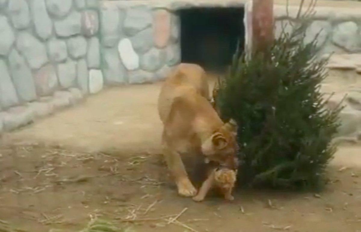 Под Астраханью засняли прогулку львицы с ее малышом