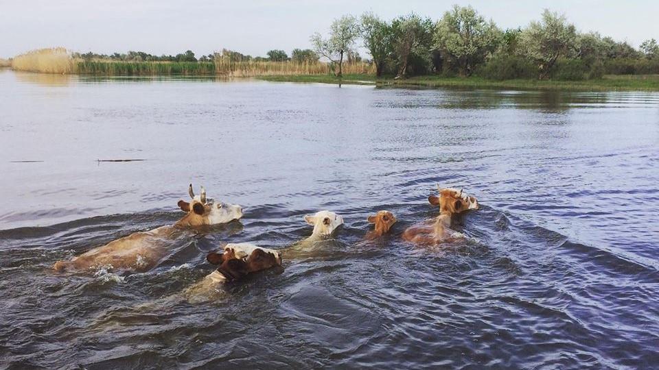Коровы в Астраханской области стали давать меньше молока
