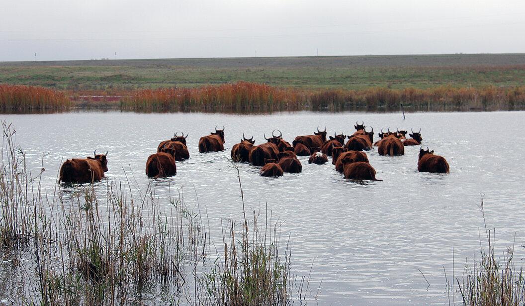 Астраханские фермеры просят губернатора дать воды скотине