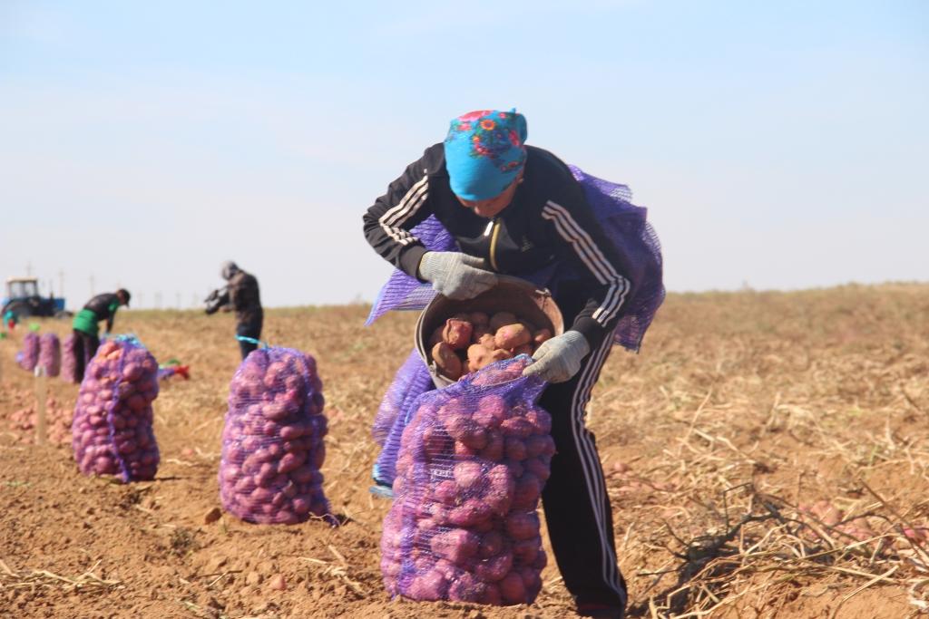 Астраханская область — первая в России по собранному картофелю