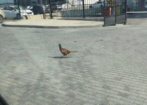 Самоизоляция людей привела к появлению на улицах Астрахани диких птиц