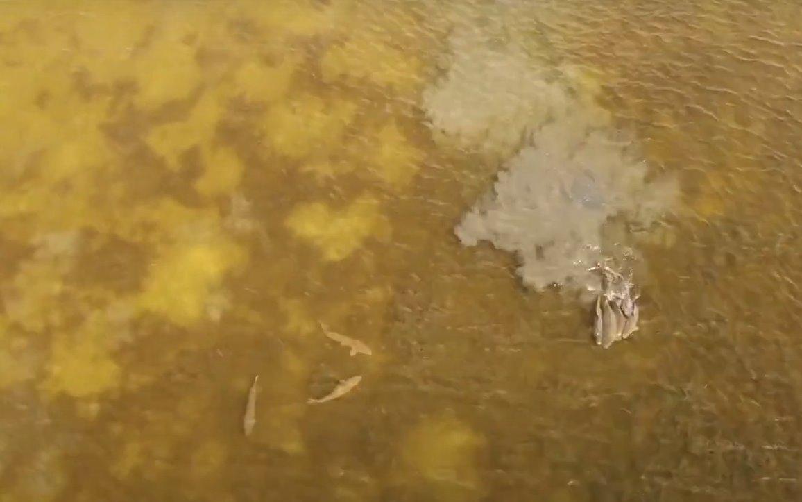 В Астраханском заповеднике сняли на видео массовый нерест «морских» сазанов