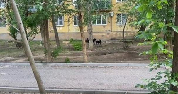 Астраханец снял на видео стаю одичавших собак