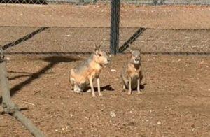 В астраханском зоопарке «Баба Фрося»  патагонские мары стали родителями