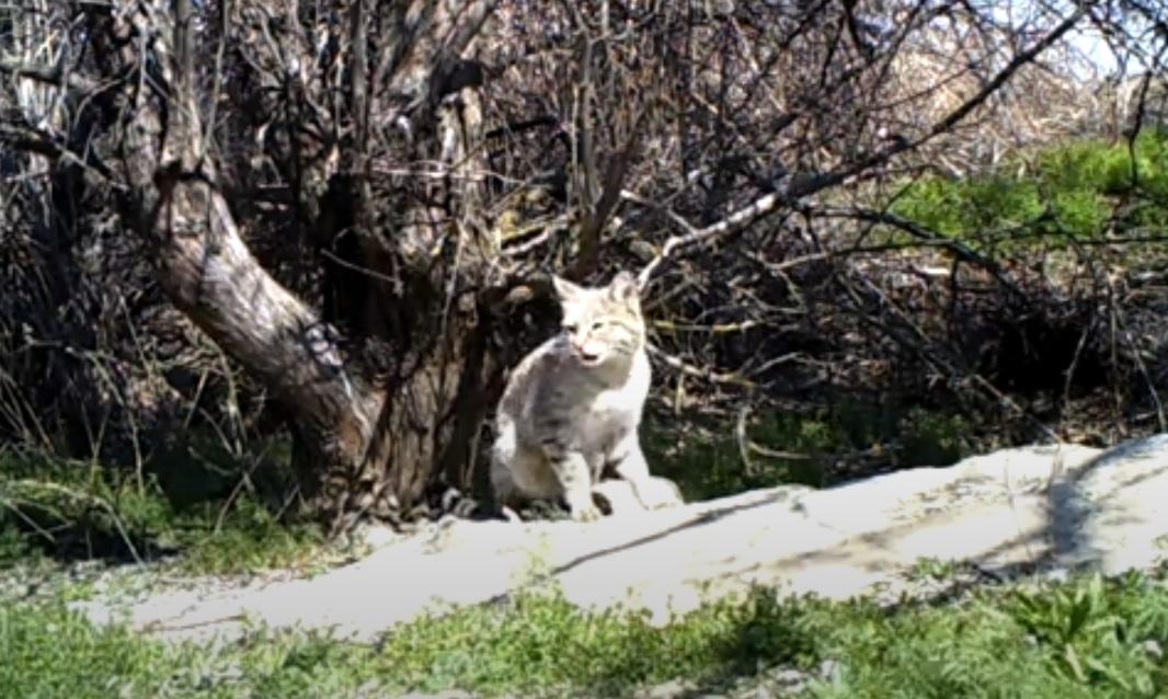 Степная кошка попалась на фотоловушку в астраханском заповеднике