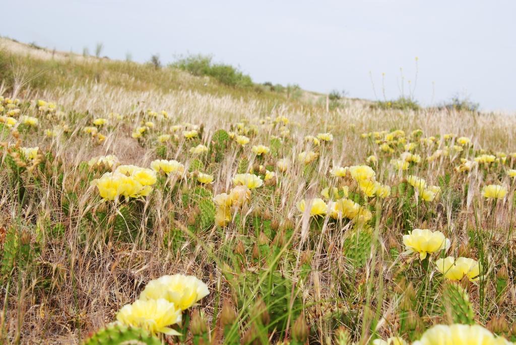 В Астраханской области зацвел редкий кактус опунция