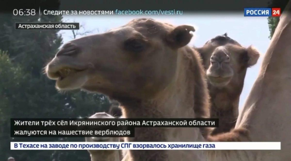 Полудикие икрянинские верблюды продолжают громить села в Астраханской области