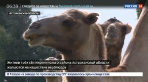 Икрянинского фермера обязали контролировать своих верблюдов