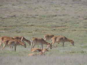 В астраханском заповеднике заметили большое стадо сайгаков