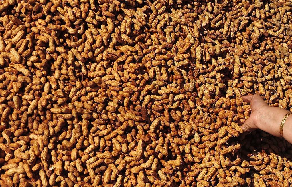 Астраханская область продолжает эксперименты с арахисом