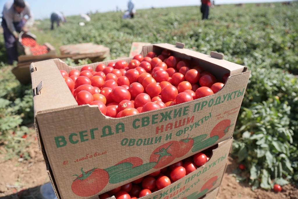 Астраханские аграрии собрали более 600 тысяч тонн овощебахчевой продукции