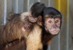 Под Астраханью родился сын у обезьян-капуцинов