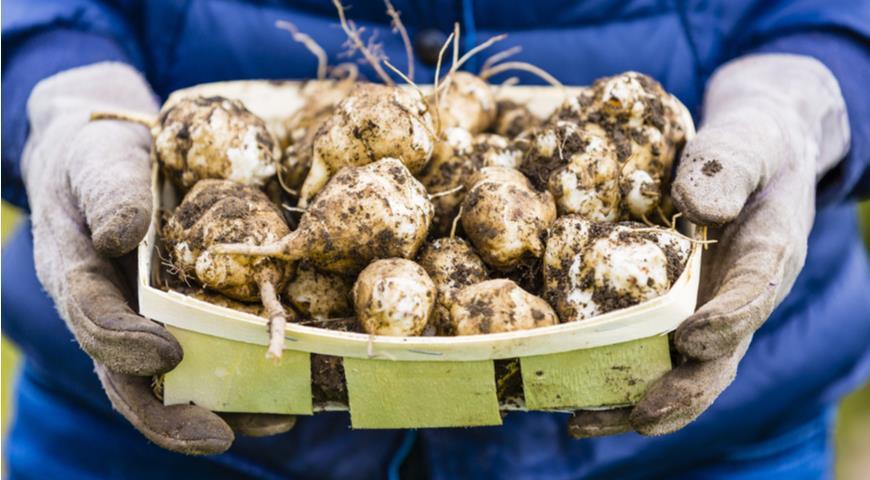 Астраханские фермеры ожидают более 3 тысяч тонн урожая топинамбура