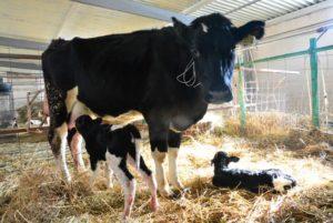 В Астраханской области искусственно осеменили более 2 тысяч коров