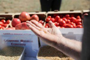 В Астраханской области начнут выращивать гибрид пшеницы и ржи