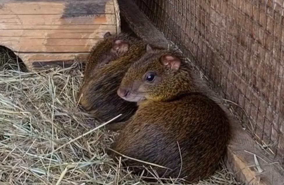 Анжелика и Леонид Агути переехали в астраханский зоопарк