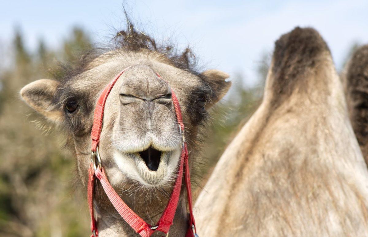 Власти Икрянинского района намерены разобраться с хозяином проблемных верблюдов через суд