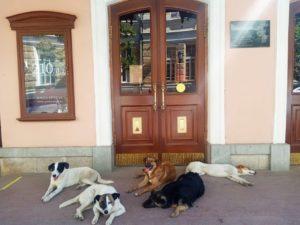 Астраханские собаки намекают Драмтеатру о включении «Белого Бима» в репертуар