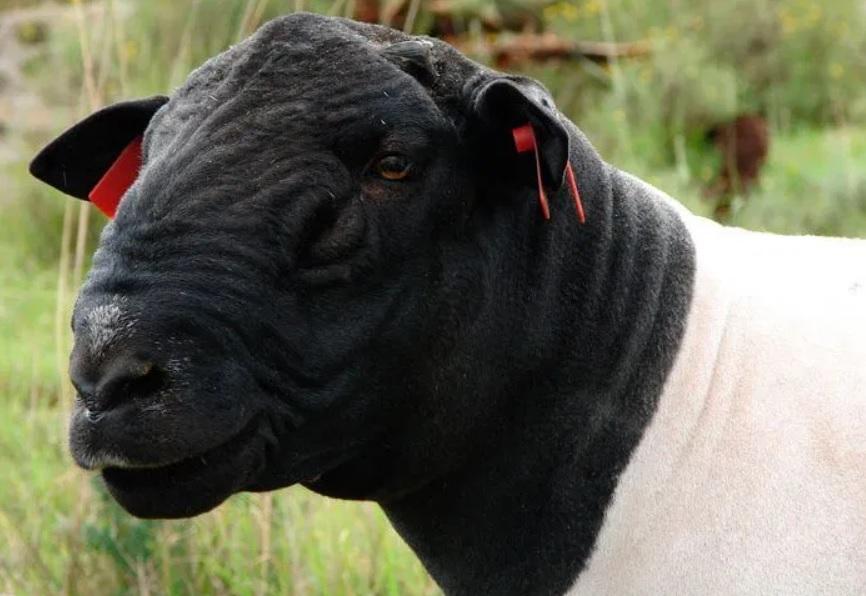 Под Астраханью начнут разводить бесшерстных овец в промышленных масштабах