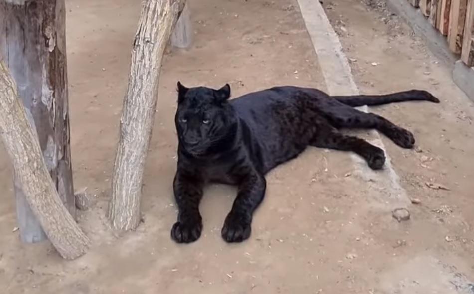 В астраханском зоопарке на леопардов возложили надежды по продолжению рода
