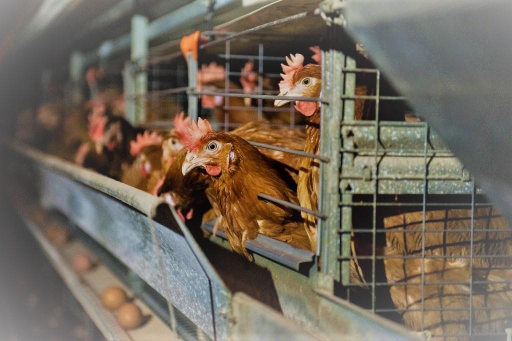 Поголовье птиц на астраханской фабрике будет полностью уничтожено