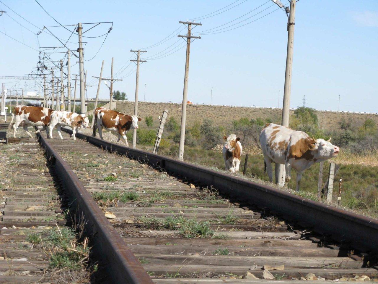 Число столкновений поездов с бродячим скотом выросло в два раза
