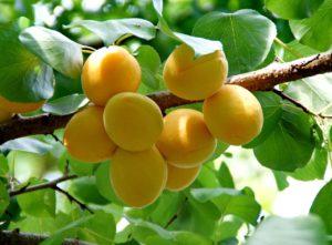 В Астрахани ожидается неурожай абрикосов