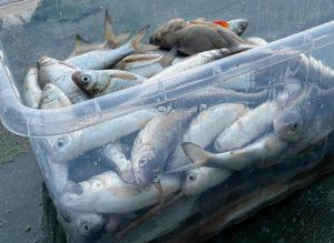 Астраханские рыбаки подменили свой улов, чтобы подзаработать