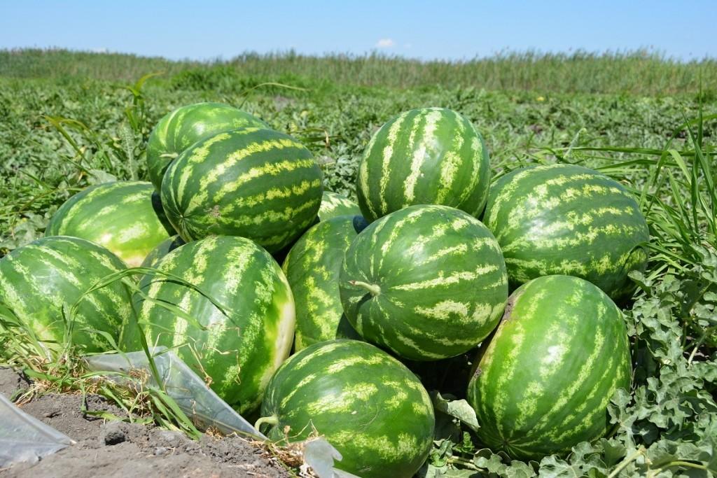 В Астраханской области начался арбузный сезон