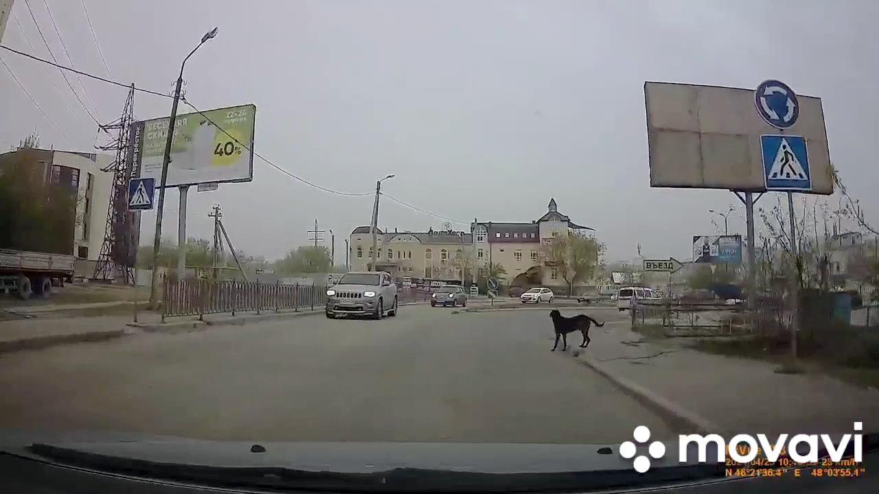 В Астрахани засняли собаку, которая знает Правила дорожного движения