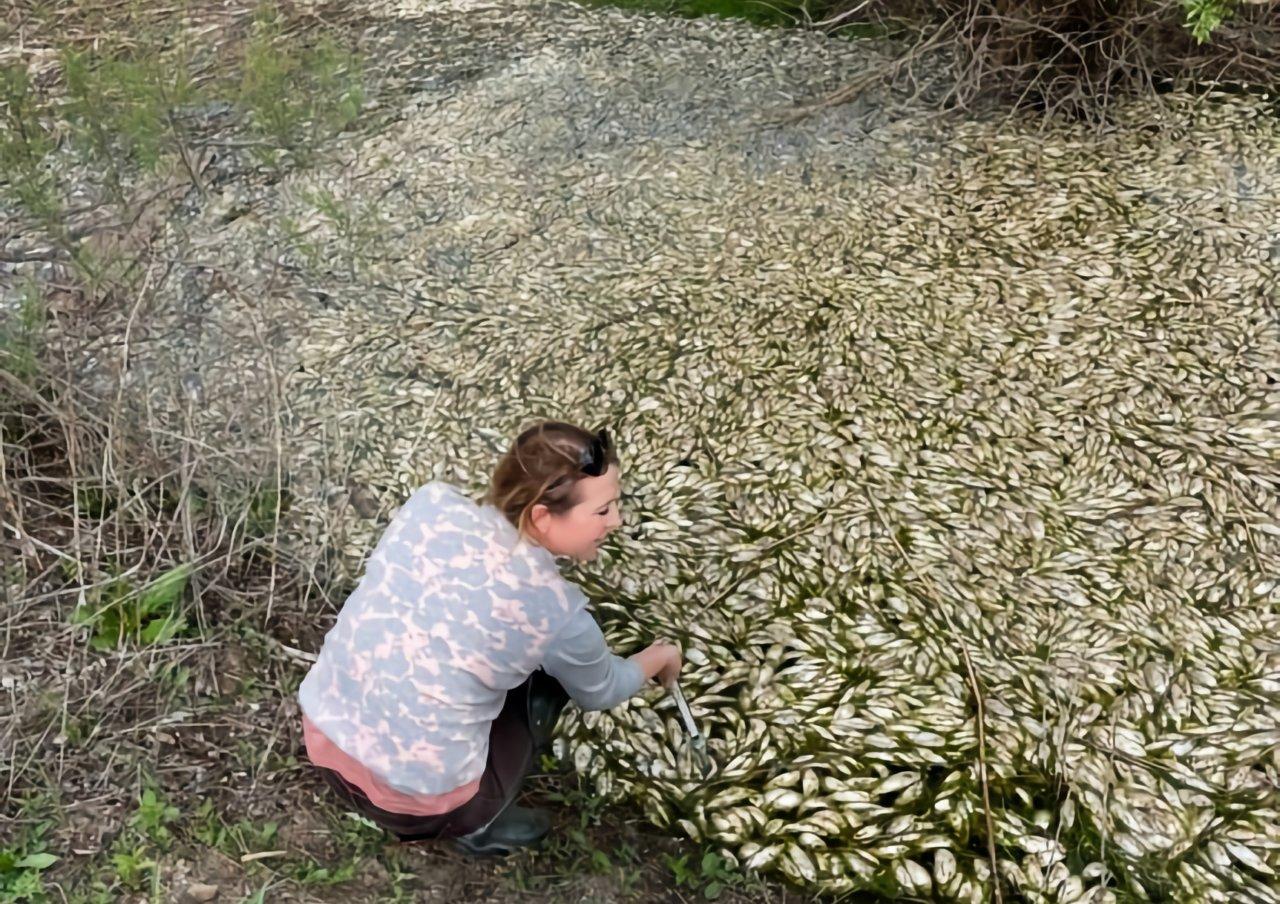 Под Астраханью погибло около 300 тысяч особей воблы
