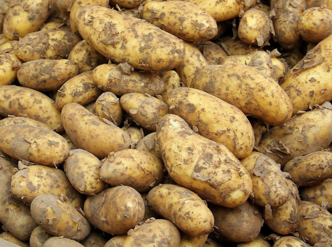 Астраханский картофель будут выращивать по американской технологии