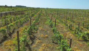Под Астраханью пытаются возродить производство вина